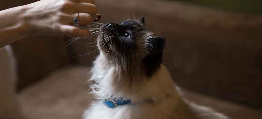 Cat-being-hand-fed-by-owner