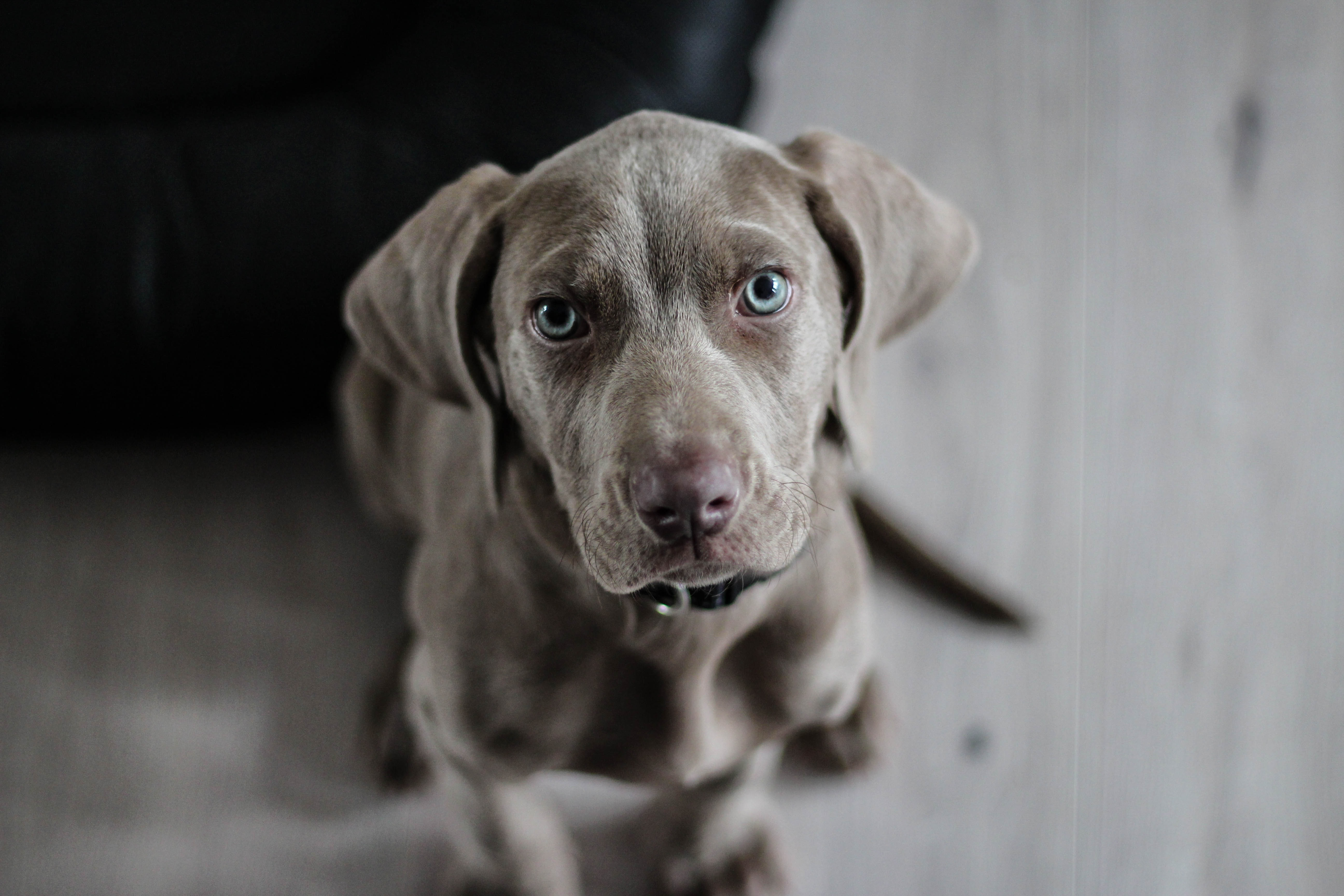 When do dogs stop eating puppy food the definitive guide to when grey weimaraner puppy nvjuhfo Image collections