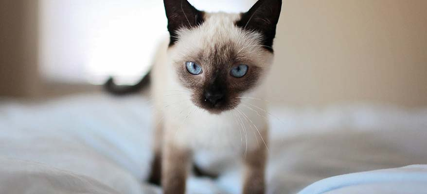 blue-eyed-healthy-kitten