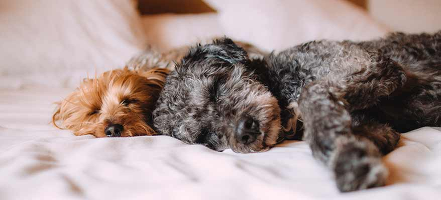 toy-poodle-puppy-and-shih-tzu-sleeping