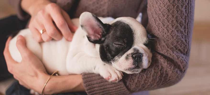 small-bulldog-puppy-sleeping-in-owners-arms