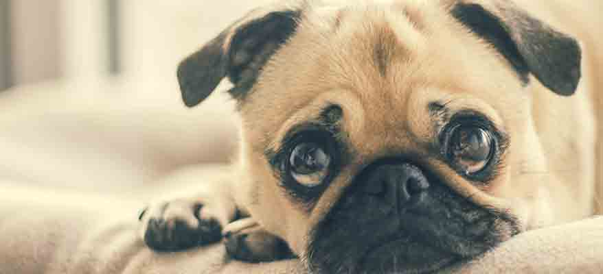 small-pug-looking-sad