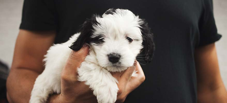 small-shih-tzu-puppy