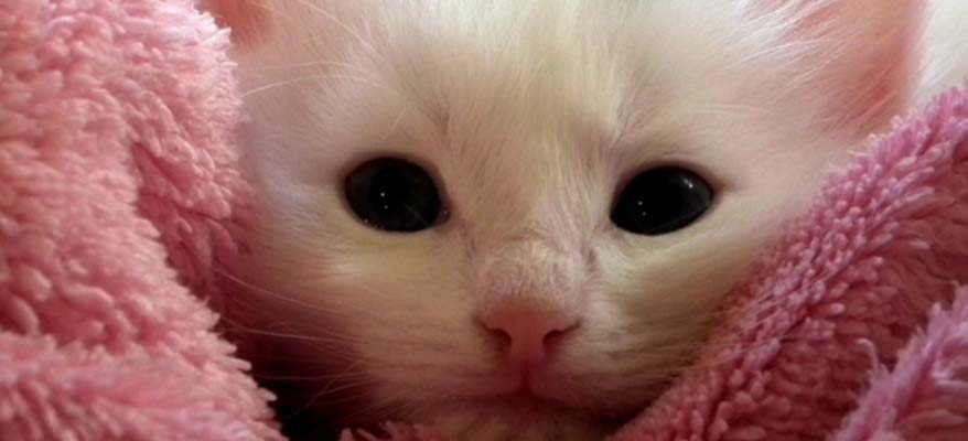 white-kitten-pink-blanket