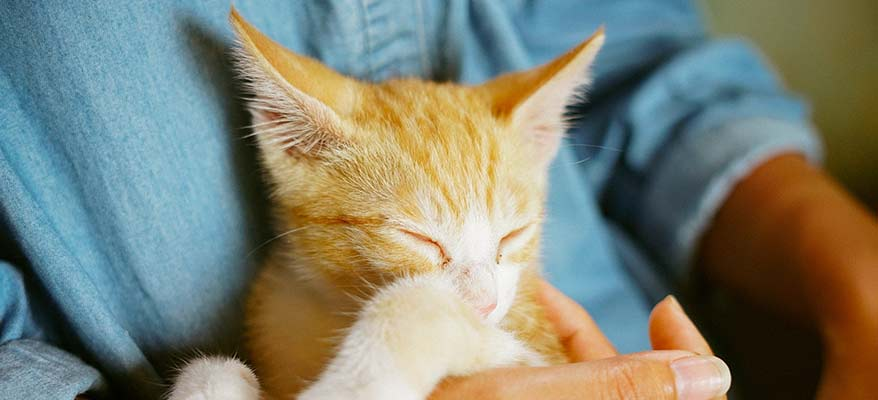 ginger-kitten-sleeping-in-owners-hands