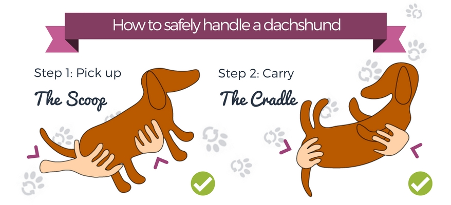 how-to-safely-handle-a-dachshund