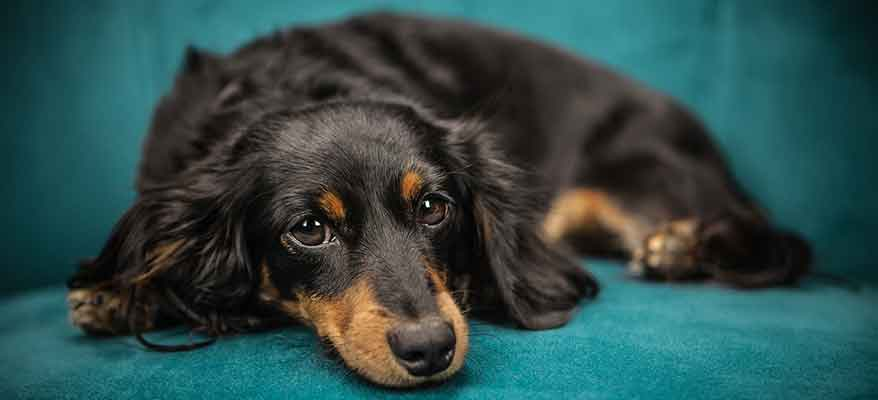long-haired-mini-dachshund-black-tan