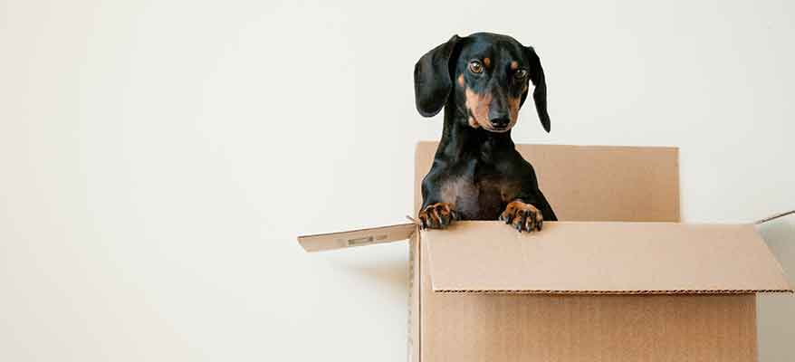 dachshund-popping-out-of-a-box