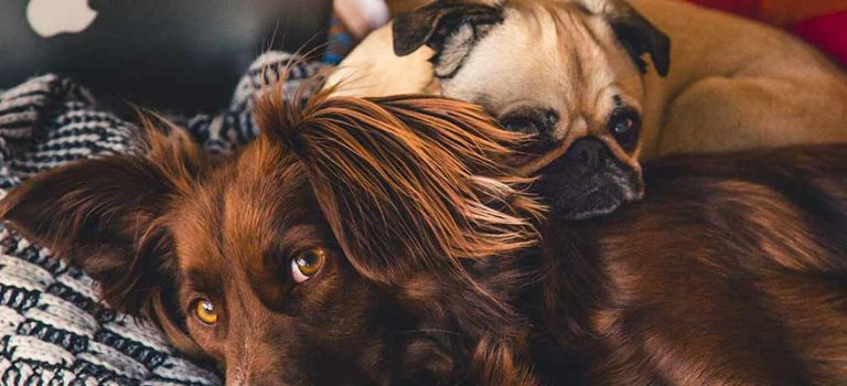 Beautiful brown dog and pug hugging